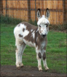 Click photo to enlarge image of miniature donkey for sale